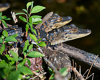 Young Alligators. Winter Nature in Florida Image taken with a Nikon D4 camera and 80-400 mm VRII telephoto zoom lens