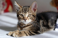 Middletown, N.Y. - A kitten poses for a portrait on a child's bed on Oct. 31, 2006.&amp;#xA;<br />