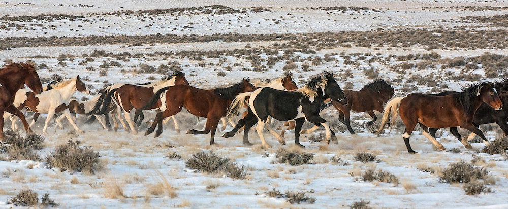 A herd of wild mustangs gallop through the new-fallen snow at the McCullough Peaks Herd Management Area outside Cody, Wyoming.