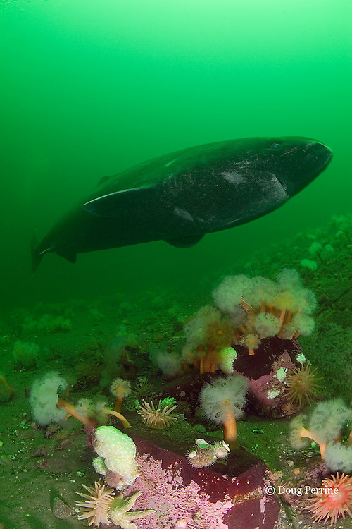 Greenland sleeper shark, Somniosus microcephalus, swims over plumose or frilled anemones, Metridium senile, northern red anemones, Tealia felina or Urticina felina, sea star, and urchins, St. Lawrence River estuary, Canada (this shark was wild & unrestrained; it was not hooked and tail-roped as in most or all photos from the Arctic)
