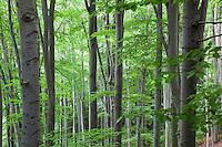 Beech Forest, Fagus sylvatica, Slanske Vrchy mountains, Eastern Slovakia, Europe, Buchenwald, Fagus sylvatica, Slanske Vrchy Gebirge, Ost-Slowakei, Europa