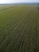 Early morning aerial view of sugarcane field extending to the horizon.  Field is near Belglades, Fl near Lake Okeechobee