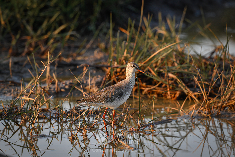 The common redshank or simply redshank (Tringa totanus) is a Eurasian wader in the large family Scolopacidae.
