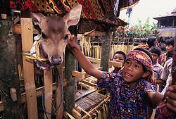 Asia, Indonesia, Sulawesi, Tana Toraja region. Tongkonan (traditional house) blessing ceremony; sacrifical deer in bamboo cage.