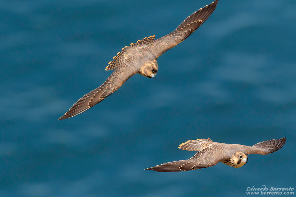 two juveniles peregrine falcon (Falco peregrinus) flying over the blue sea of Nazare beach and seen from above the birds of prey