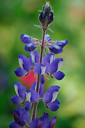 Blue lupin - Lupinus pilosus L. Origin: southern Europe, Middle East