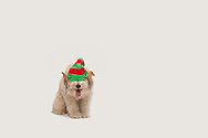 Fluffy mutt on a white background wearing an elf hat
