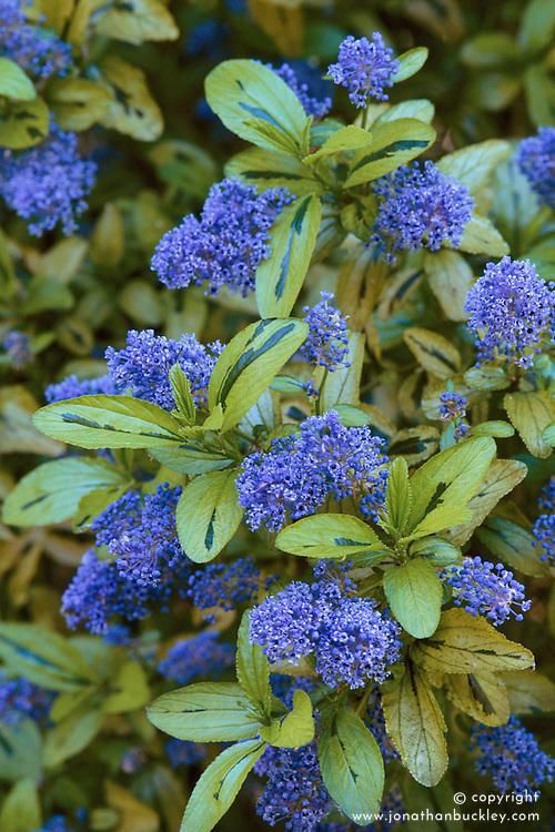 Ceanothus 'Zanzibar' - Californian lilac