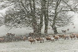 © Licensed to London News Pictures. 10/02/2020. Llanfihangel-nant-Melan, Powys, Wales, UK. Sheep stand in a wintry landscape near Llanfihangel-nant-Melan in Powys, during a heavy snow-fall this morning.  Photo credit: Graham M. Lawrence/LNP