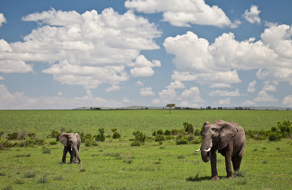Elephants in the Maasai Mara