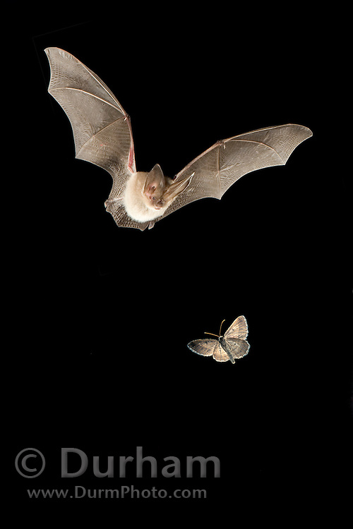 A townsend's big-eared bat (Plecotus townsendii) pursues a spanworm moth. Photo illustration created by digital composite. Both bat and insect were photographed at night in free flight.