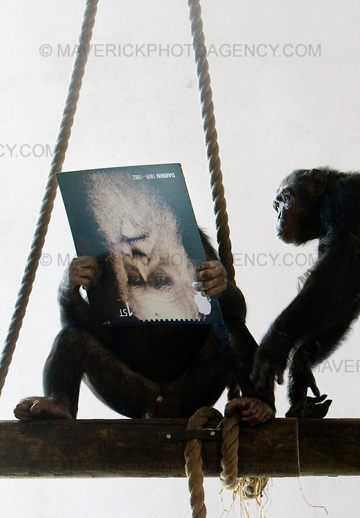 Chimps at Edinburgh Zoo help launch new stamps to celebrate the 200th anniversary of Charles Darwin's Birth ..10/02/09 Michael Hughes/Maverick