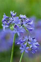 Agapanthus 'Lilliput'. African lily