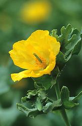 Glaucium flavum  - Yellow horned poppy