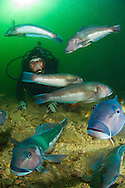 An underwater view of Blue cod enjoy safe sanctuary and a diver in a marine reserve in Queen Charlotte sound. Marlborough sounds. New Zealand<br />