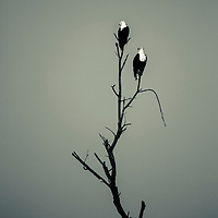 African Fish Eagles on a dead tree in the Samburu region of northern Kenya
