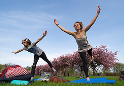 Edinburgh, Scotland, UK. 23 April, 2019. With cherry blossoms in full bloom on trees in The Meadows park in the south of the city, students from nearby Edinburgh University and the public enjoy the blossoms and fine weather. Pictured; Edinburgh residents Izaak, left and Marie take their first ever yoga lesson whilst watching a Youtube tuition video on their phone.