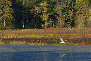 Mamakating - A heron flies across the water at the Bashakill Wildlife Management Area on Oct. 8, 2014.