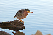 A Green Backed Heron on the shores of Lake Murray.  Agitated - he's keeping his eye on me.  The lake has risen 6 feet in the last rain - and there's not a lot of shoreline.