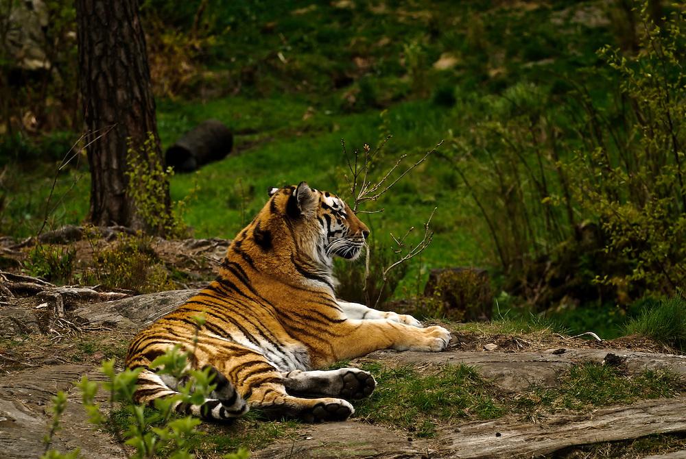 A resting siberian tiger at Kristiansand Dyrepark (zoo).