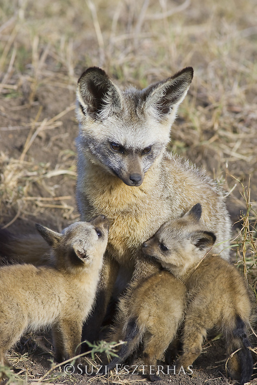 Bat-eared fox<br /> Otocyon megalotis<br /> With 5 week old pup(s) at den<br /> Masai Mara Reserve, Kenya
