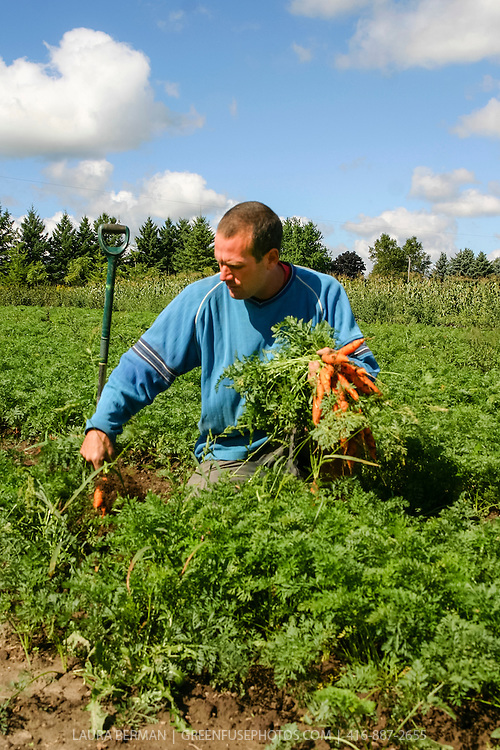 A farmer harvest carrots by hand at Everdale organic farm.