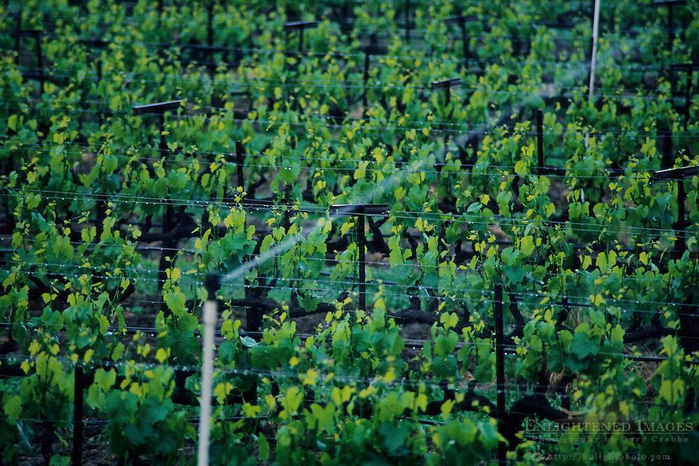 Sprinkler watering vineyard, East Side Road, near Ukiah, Mendocino County, California