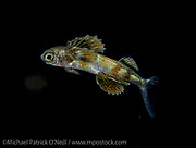 Young unidentified Flying Fish drifting at night in the Gulf Stream offshore Palm Beach, Florida, United States.