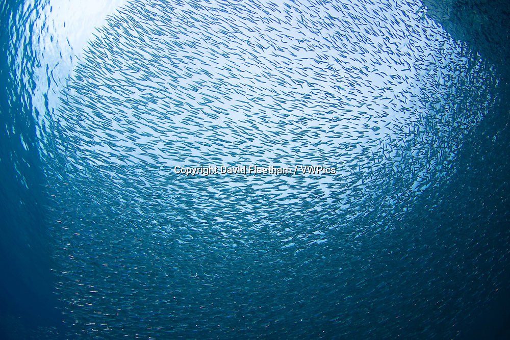 Thousands of baitfish or silversides school together off Bonaire Island, Caribbean.