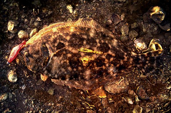 Stock photo of a Southern flounder - Paralichthys lethostigma