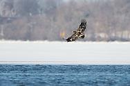 Bald Eagles of Onondaga Lake Syracuse NY