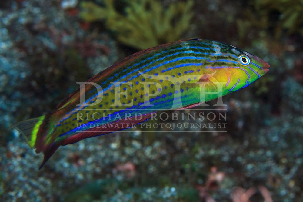Suezichthys arquatus (Rainbowfish) Terminal Phase<br /> Thursday 01 October 2015<br /> Dive Number: 755<br /> Site: Denham Bay, Raoul Island, Kermadec Islands, New Zealand<br /> Dive Buddy: Steve Hathaway<br /> Boat: Braveheart<br /> Temperature: 19 degrees <br /> Maximum Depth: 11.6 meters<br /> Bottom Time: 60 minutes<br /> Bottom Time to Date: 42,070 minutes<br /> Cumulative Time: 42,130 minutes