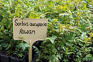 Rowan seedlings growing at Trees For Life's nursery on Dundreggan Estate, Scotland.