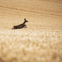 Barley Harvest, Perthshire…19.09.16<br />