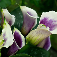 Calla Lily Flower Stock Photos