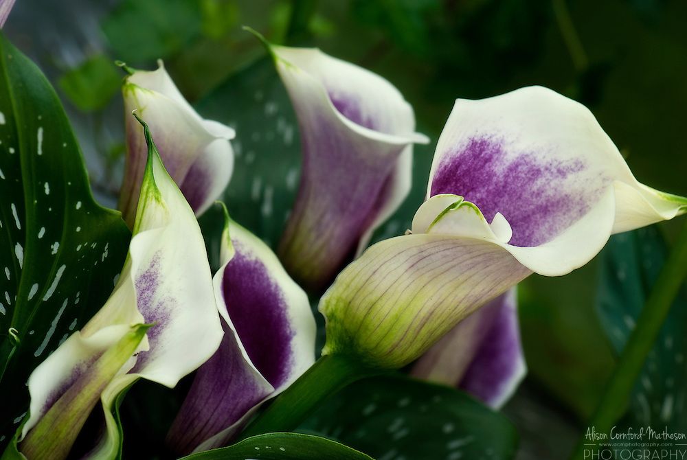 Deep Purple Calla Lily