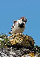 House Sparrow - Passer domesticus - male. L 14-15cm. Familiar because of affinity for human habitation. Often dust-bathes and sits on roofs, utterly familiar sparrow chirps. Sexes are dissimilar. Adult male has grey crown, cheeks and rump. Nape, sides of crown, back and wings are chestnut-brown, underparts are pale grey, and throat and breast are black. Bill is dark and legs are reddish. Adult female is mainly brown above with buff streaks on back; underparts are pale grey and note pale buff supercilium behind eye. Juvenile is similar to adult female but duller. Voice Utters range of chirping calls. Status Fairly common but declining resident, usually found in vicinity of houses and farms.