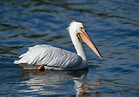 American White Pelican (Pelecanus erythrorhynchos) swimming in Lake Chapala, Ajijic, Jalisco, Mexico