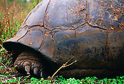 The back foot of a giant tortoise on the Galapagos Islands