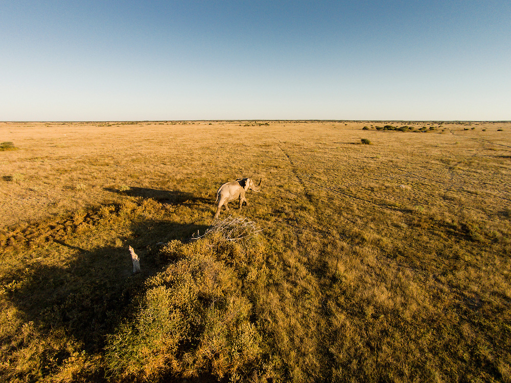 Africa, Botswana, Nxai Pan National Park, Aerial view of Bull Elephant (Loxodonta africana) in Kalahari Desert at sunset