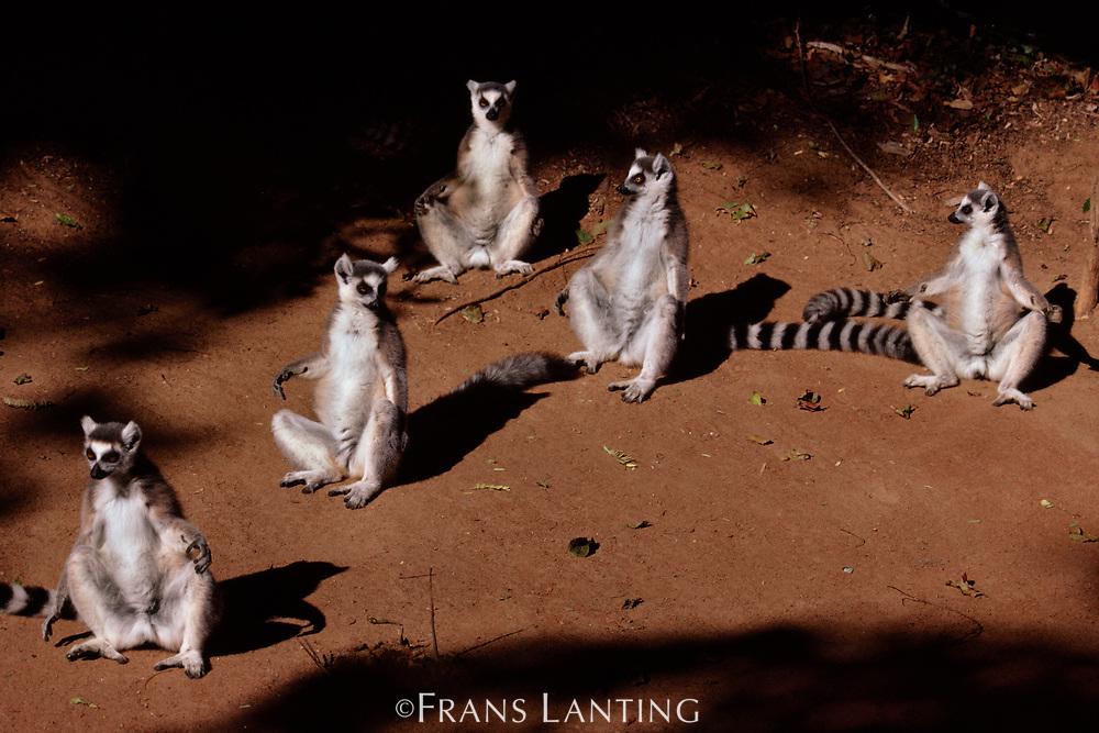 Ring-tailed lemurs sunning, Berenty Reserve, Madagascar