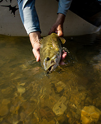 Smallmouth bass from the North Fork of the White River in Missouri