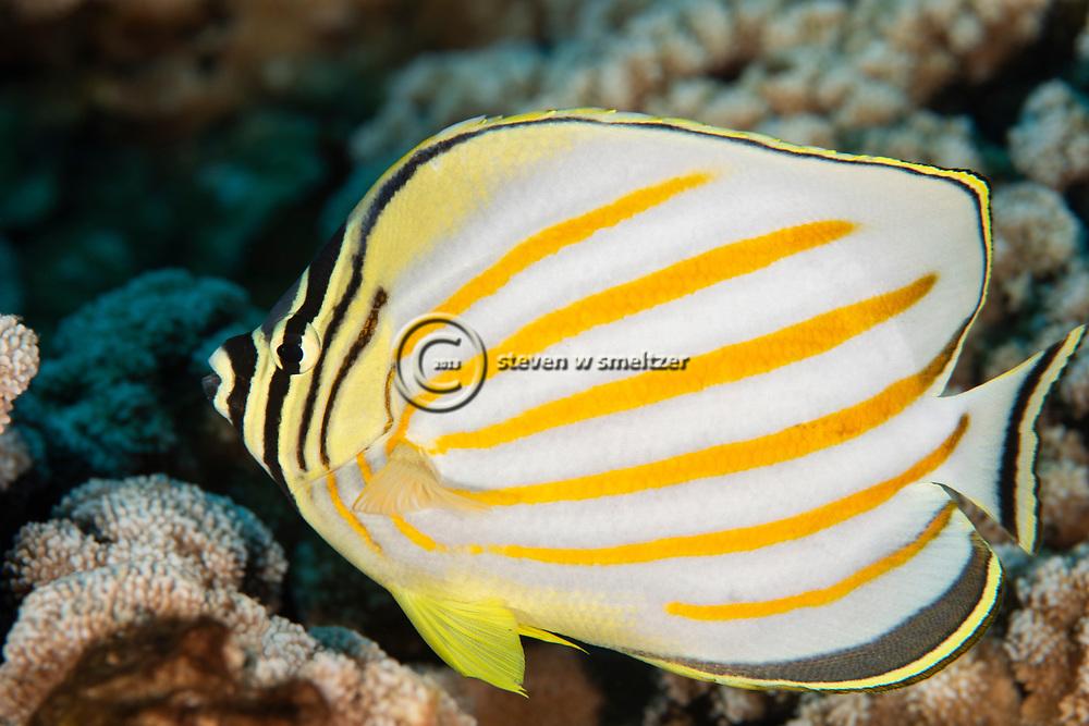 Ornate Butterflyfish, Chaetodon ornatissimus, Cuvier, 1831, Lanai, Hawaii