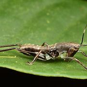 Lichnofugia rufa nymph, Tettigoniidae nymph. Insects in the cricket family Tettigoniidae are commonly called katydids or bush crickets.