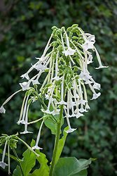 Nicotiana sylvestris AGM (Flowering tobacco plant)