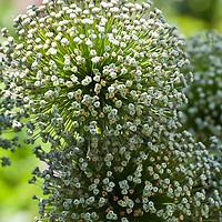 Large white seed pods of Ambassador giant ornamental onion (Allium 'Ambassador').