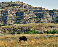 Lone Bison at Theodore Roosevelt National Park. Image taken with a Nikon D200 camera and 80-400 mm VR lens (ISO 100, 80 mm, f/5, 1/500 sec).