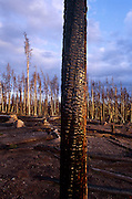 Burned down forest with bare trees, Yellowstone National Park, Wyoming..Subject photograph(s) are copyright Edward McCain. All rights are reserved except those specifically granted by Edward McCain in writing prior to publication...McCain Photography.211 S 4th Avenue.Tucson, AZ 85701-2103.(520) 623-1998.mobile: (520) 990-0999.fax: (520) 623-1190.http://www.mccainphoto.com.edward@mccainphoto.com