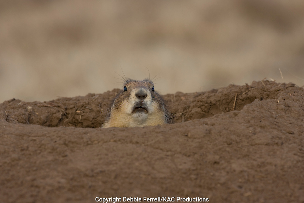 Adult Black-tailed  Prairie dog looking out of mound