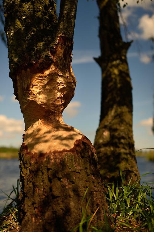 Results from beavers eating, Castor fiber, Peene river, Anklam, Germany